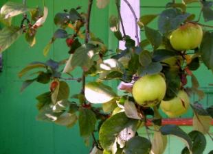 Эксперты определили, в каких яблоках нет пестицидов