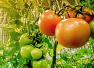 Как повышают урожай в промышленных теплицах? Освещение теплиц и расчет освещенности за 2 минуты