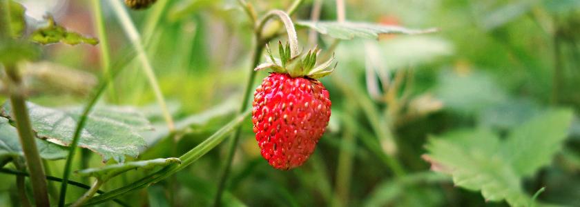 Свежие ягоды – круглый год: как вырастить землянику дома?