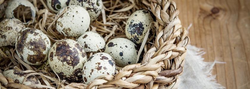 Перепелиные яйца в условиях дачи или загородного дома. Польза перепелиных яиц