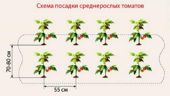 Правильно высадка рассады помидор