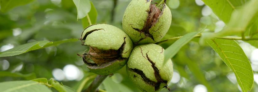 Как выращивать орехи на даче: посадка и особенности ухода