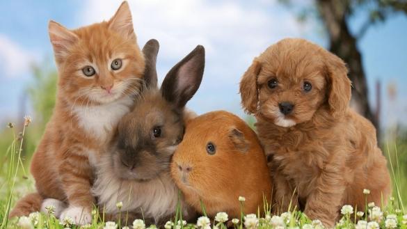 Фото домашние животные (котенок, кролик, морская свинка, щенок)
