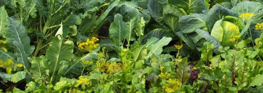 Уплотненные посадки овощей. Резерв для увеличения урожая