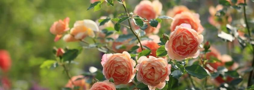 Розы - привитые или корнесобственные?