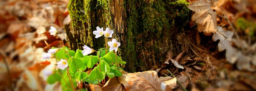 В Тюмени цветут  вишни, клубника и лесные цветы