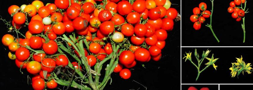 Селекционеры вывели помидоры, растущие пышными букетами